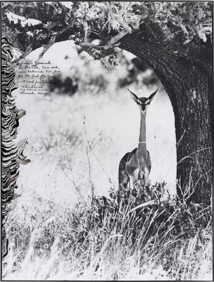 Peter Beard-Female Gerenuk On The Tiva, Tsavo North, Near Kathemula, Feb.-1965