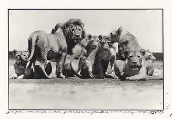 Peter Beard-Lion Pride, Southern Serengetti near Ndutu, for The End of the Game, Nairobi, Kenya, East Africa-1976