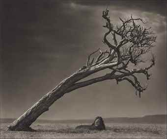 Nick Brandt-Lion Under Leaning Tree-2008