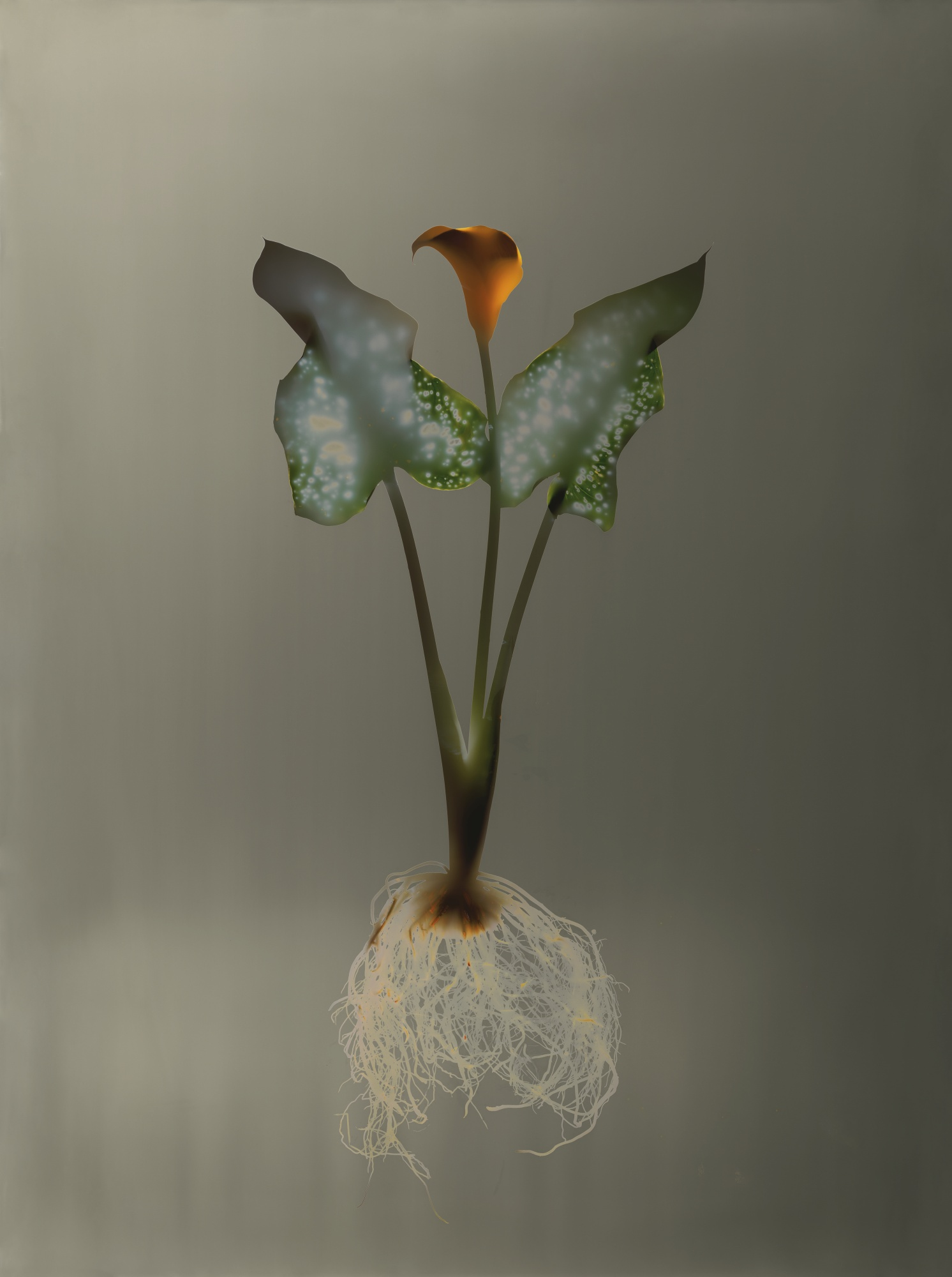 Adam Fuss-Untitled (Calla Lily)-1992