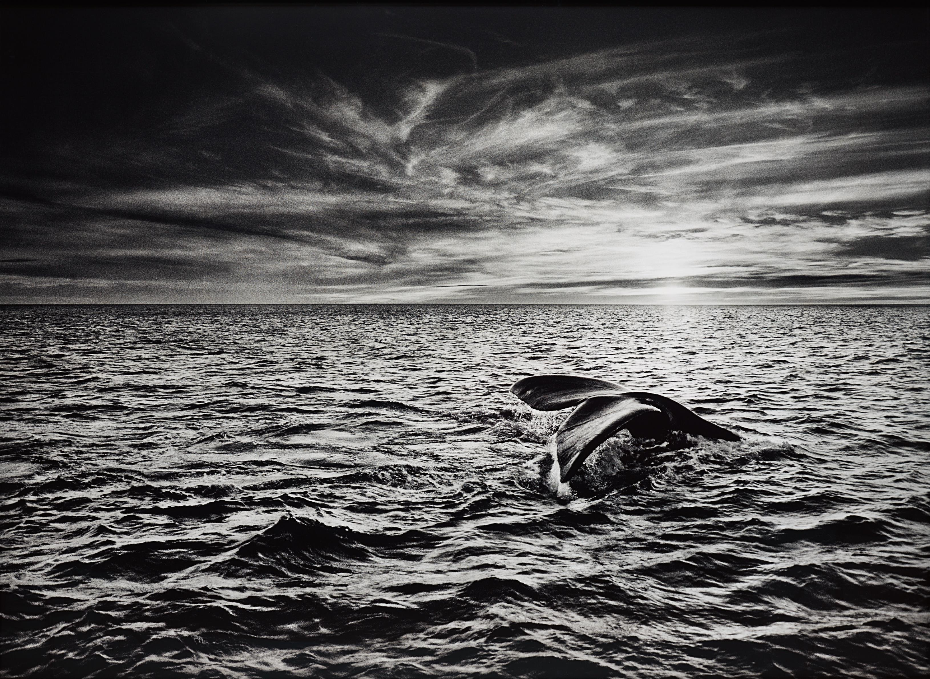 Sebastiao Salgado-Southern Right Whale, Navigating In The Golfo Nuevo, Valdés Peninsula, Argentina-2005