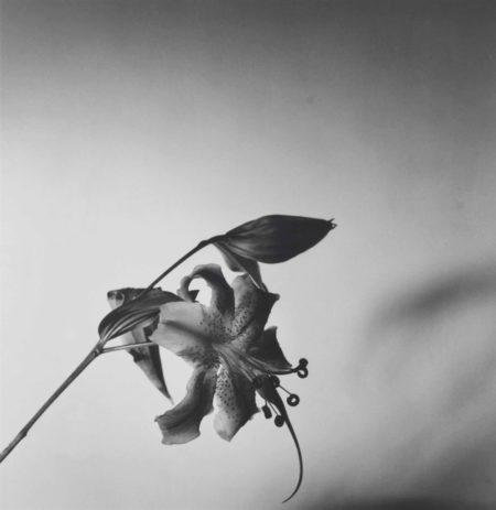Robert Mapplethorpe-Lily-1977