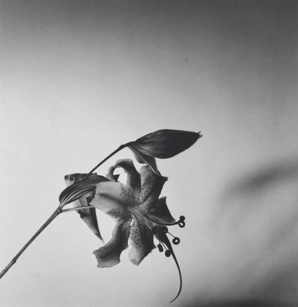 Robert Mapplethorpe-Lily-1977