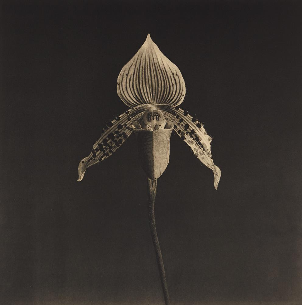 Robert Mapplethorpe-Orchid-1987