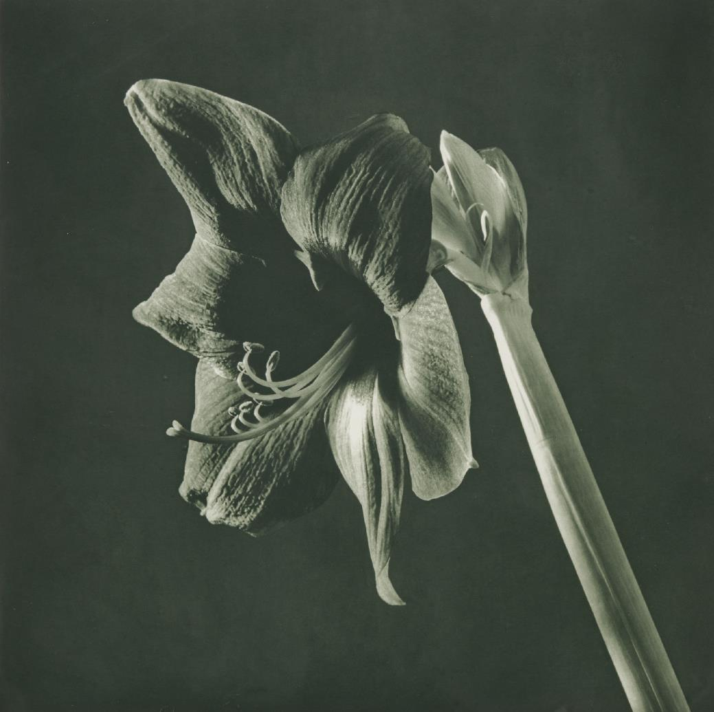 Robert Mapplethorpe-Green Amaryllis From Flowers-1988