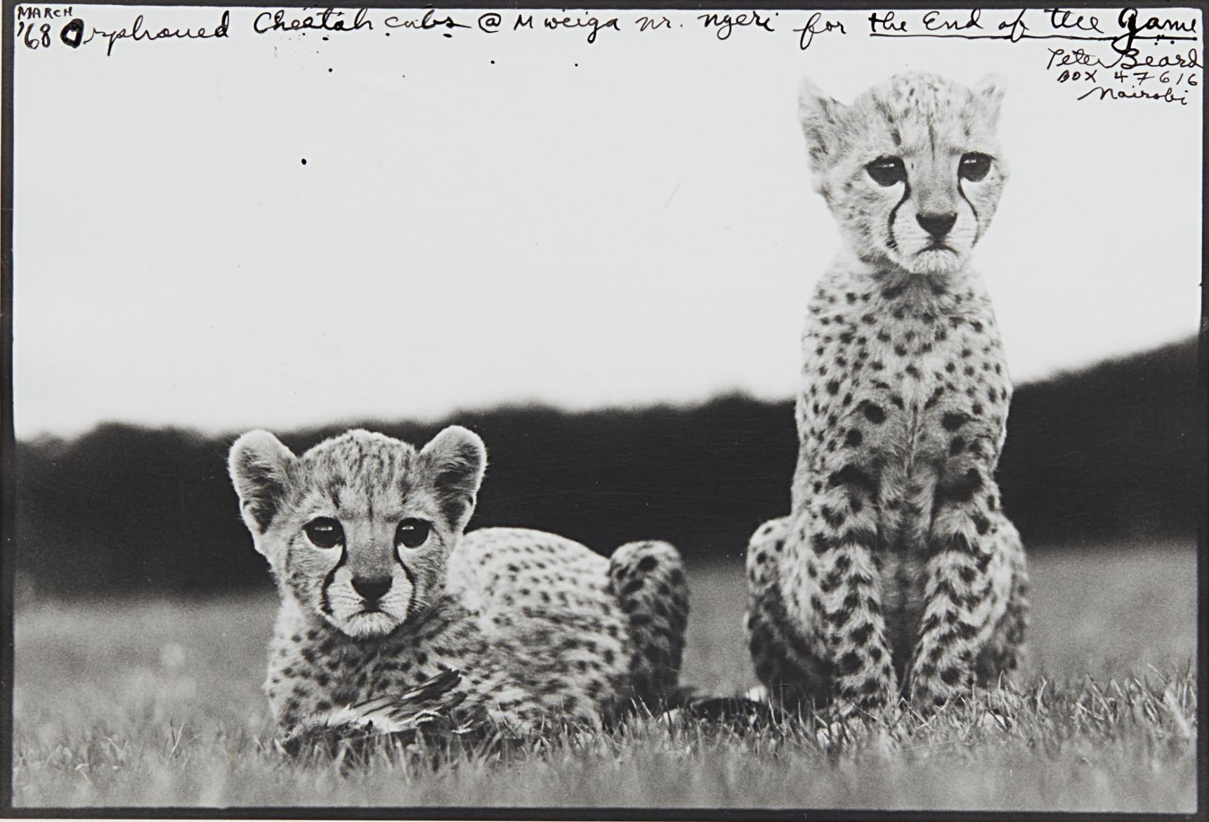 Peter Beard-Orphaned Cheetah Cubs, Mweiga National Park, Kenya For The End Of The Game-1968