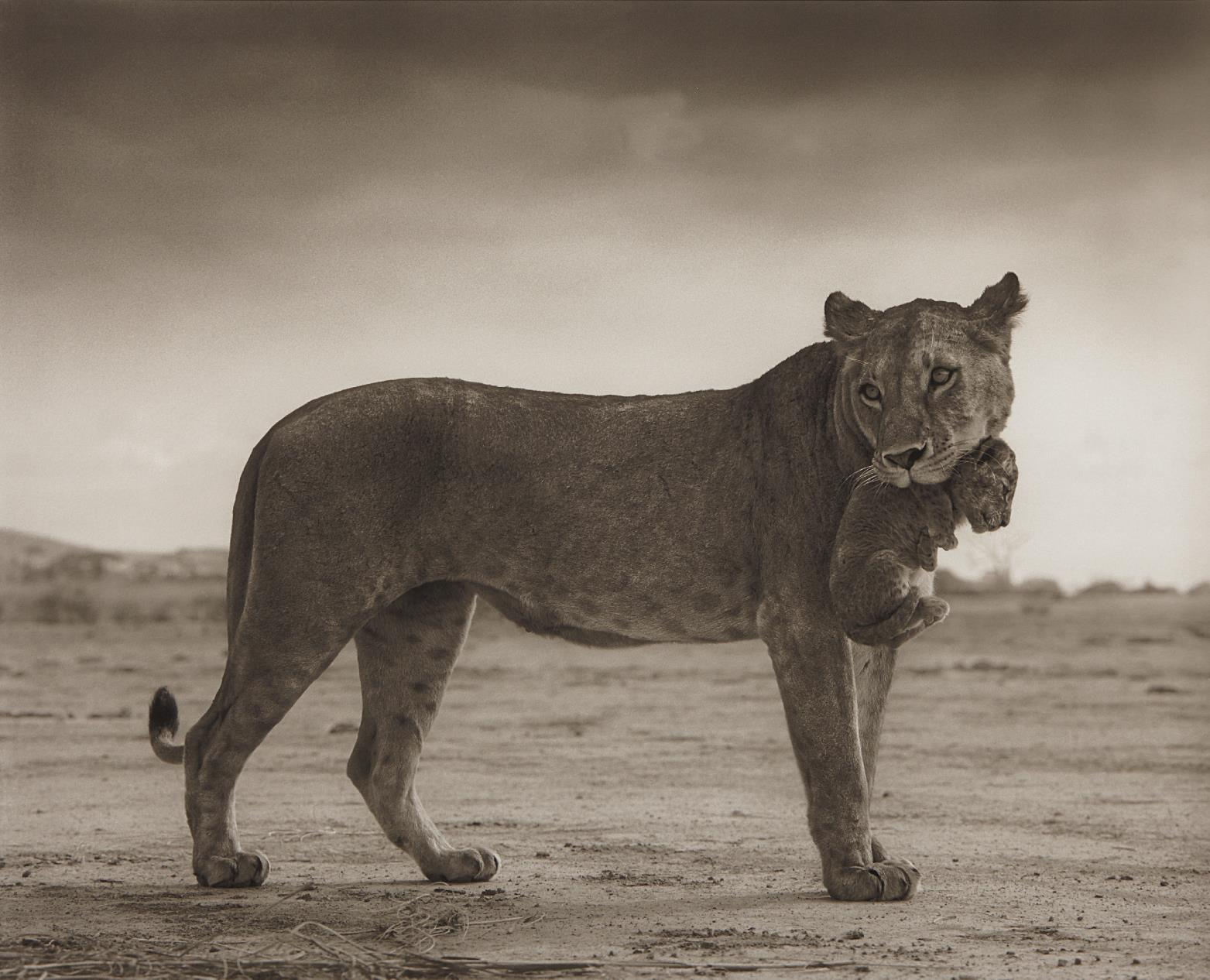 Nick Brandt-Lioness With Cub In Mouth, Amboseli-2012