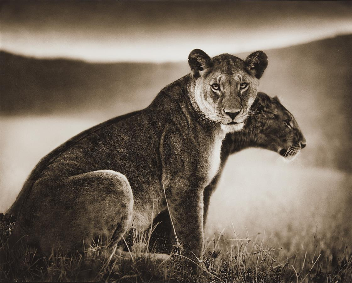 Nick Brandt-Sitting Lionesses, Serengeti-2002