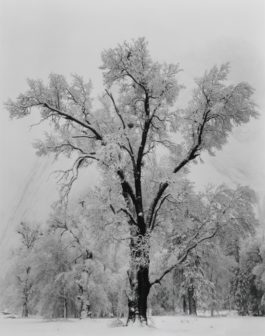 Ansel Adams-Oak Tree Snowstorm Yosemite National Park California-1948
