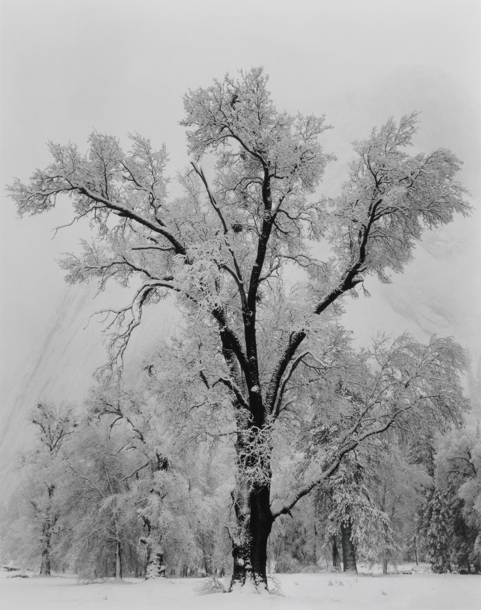 Ansel Adams-Oak Tree Snowstorm Yosemite National Park California-1948