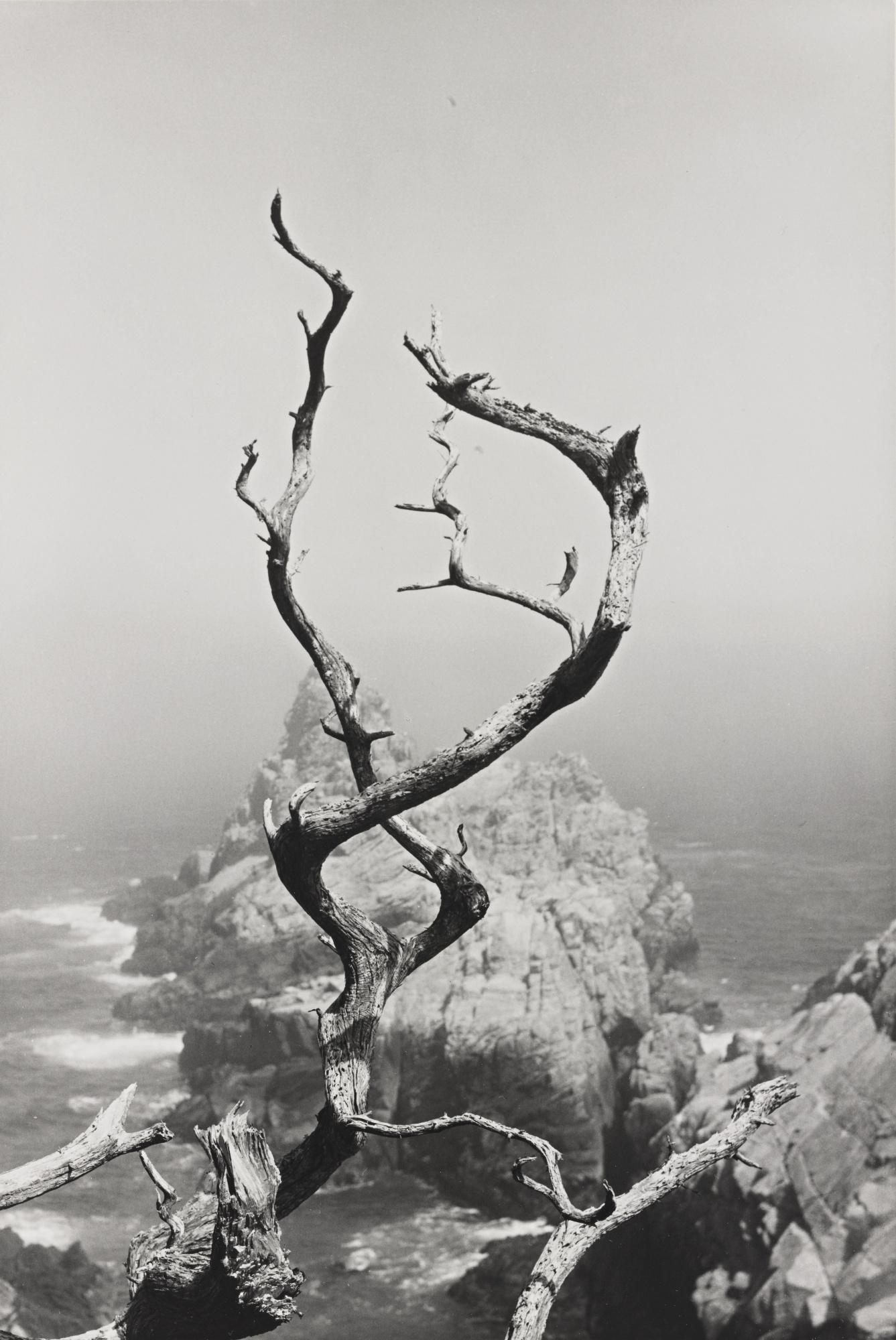 Minor White-Point Lobos California (Twisted Tree)-1951