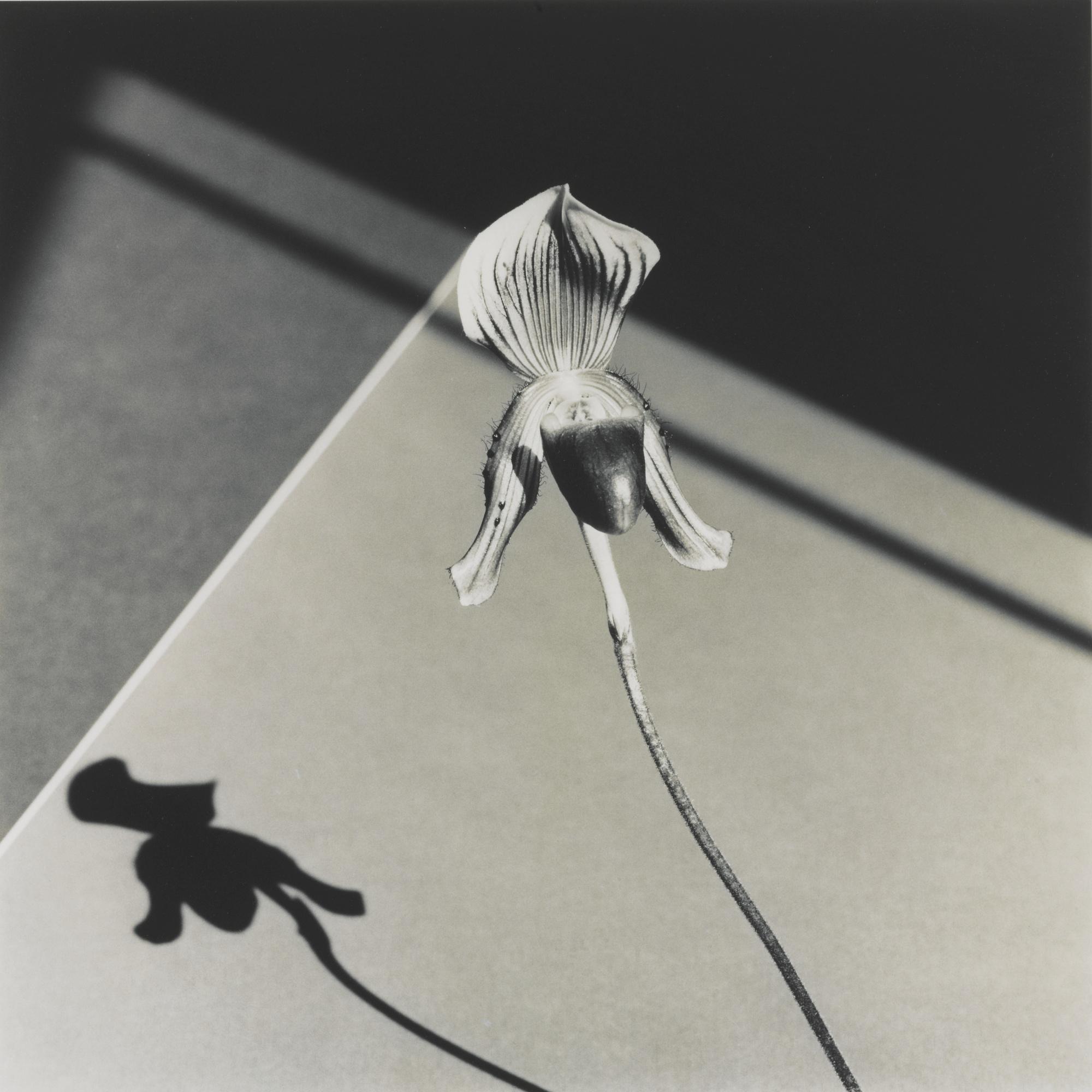 Robert Mapplethorpe-Orchid-1986