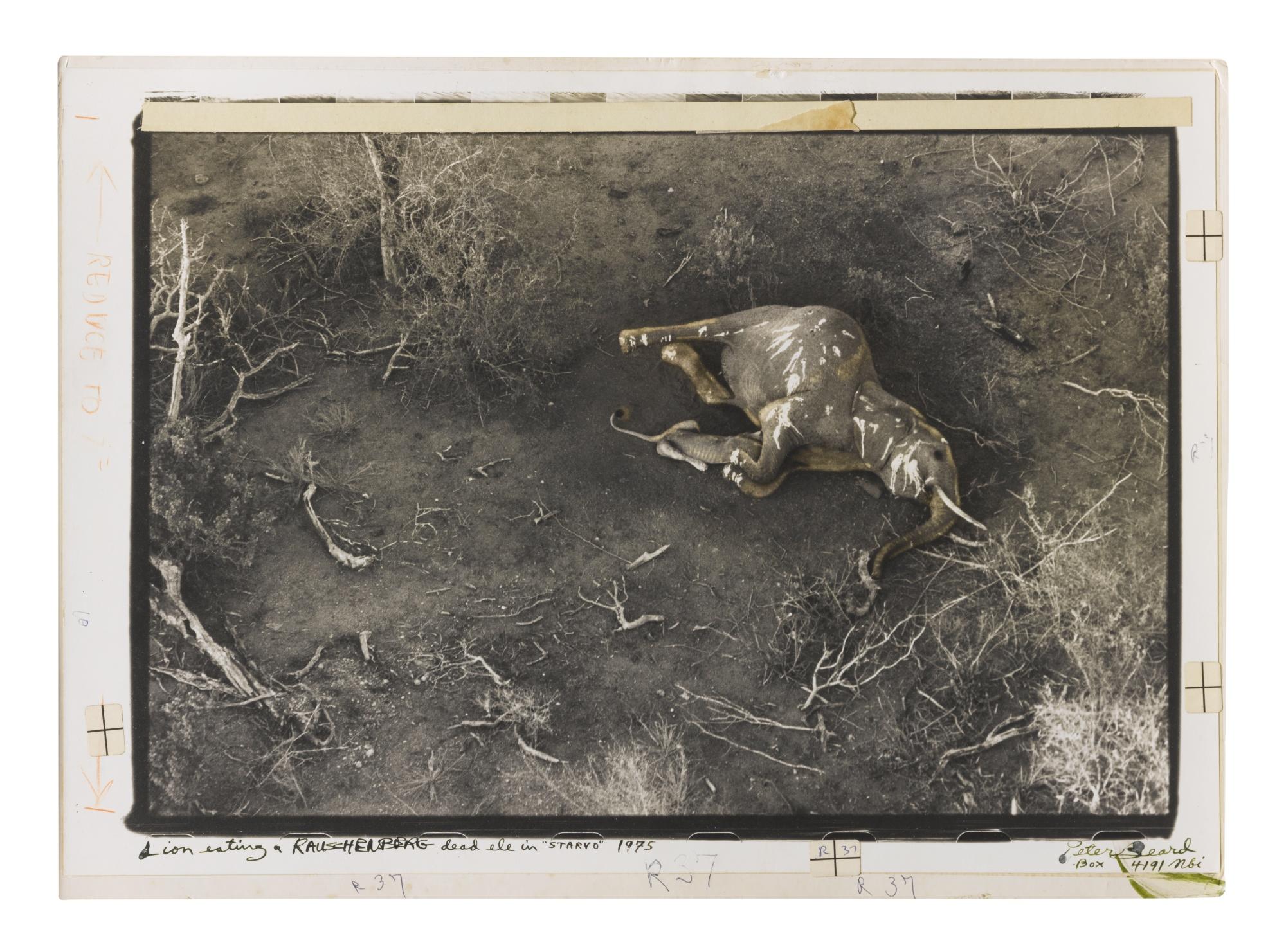 Peter Beard-Lion Eating A Rauschenberg Dead Ele In Starvo 1975-1975