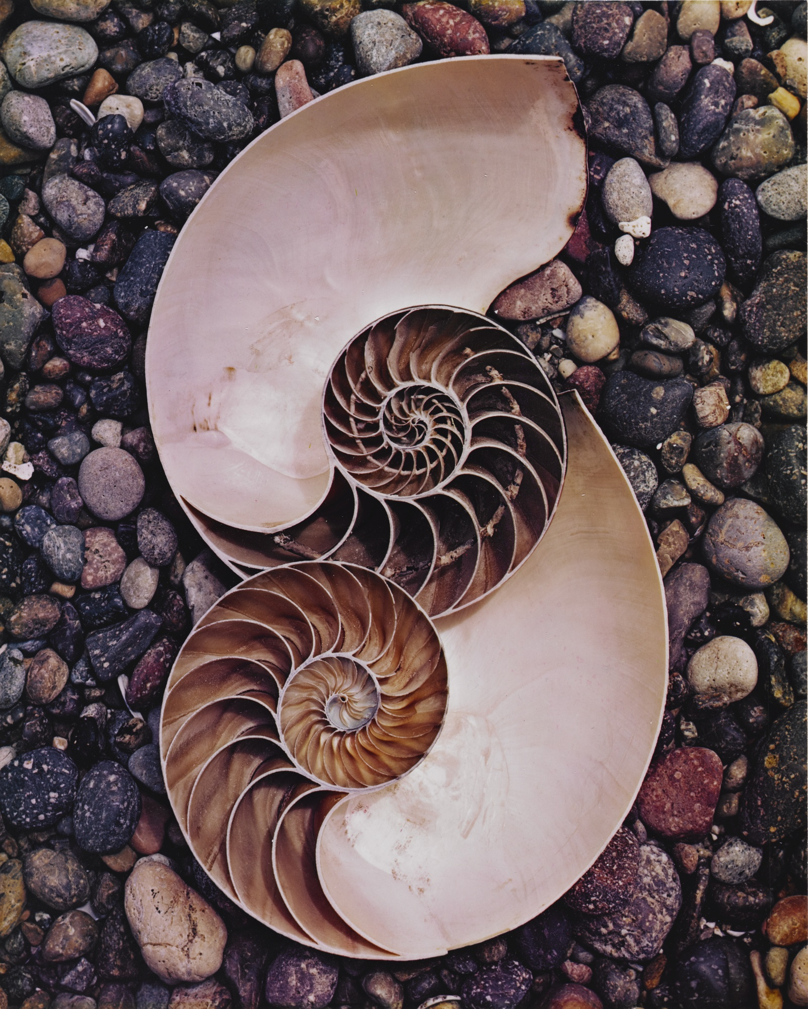 Edward Weston-Nautilus Shells-1947