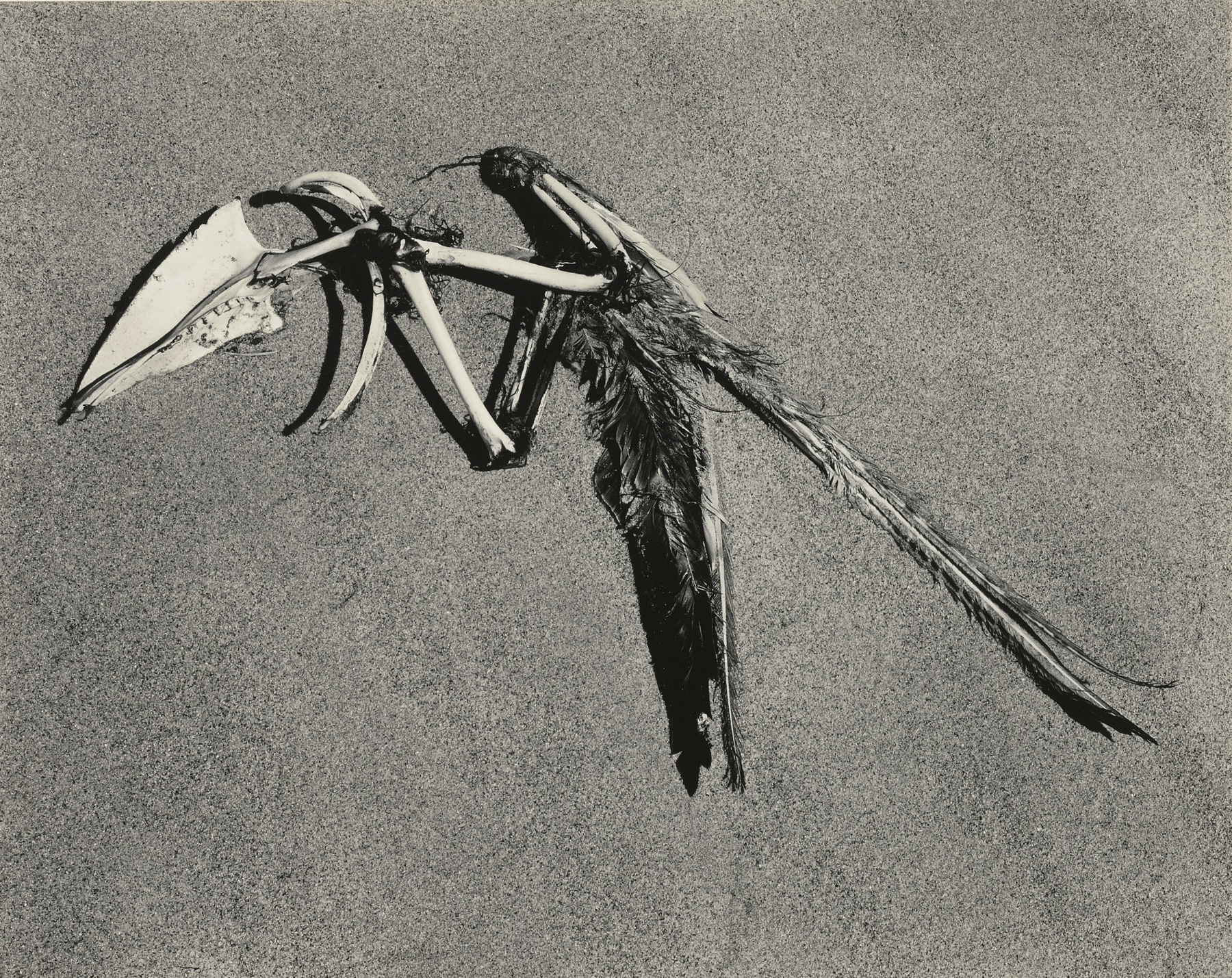 Edward Weston-Feathers And Bones-1936