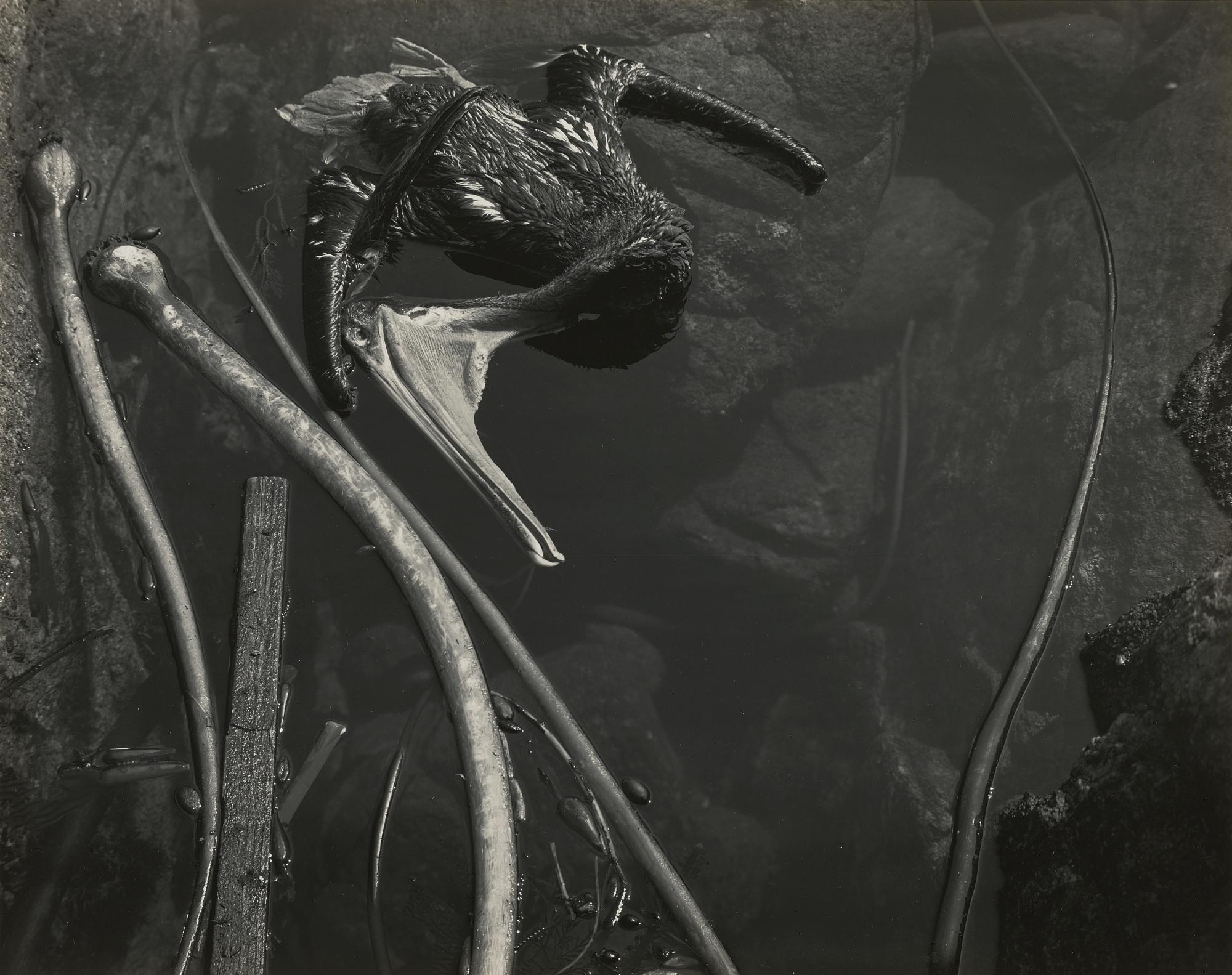 Edward Weston-Tide Pool Point Lobos (Dead Pelican)-1945