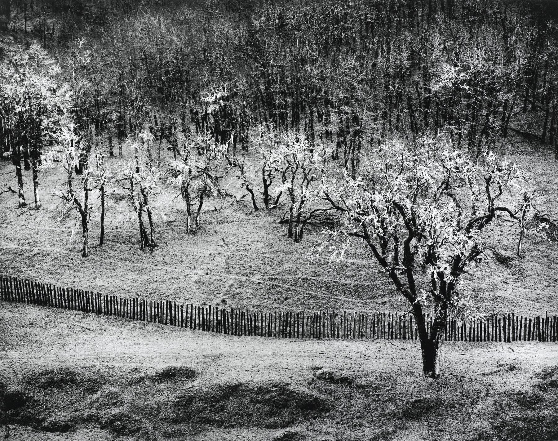 Ansel Adams-Oak Tree Rain Sonoma County Hills California-1960