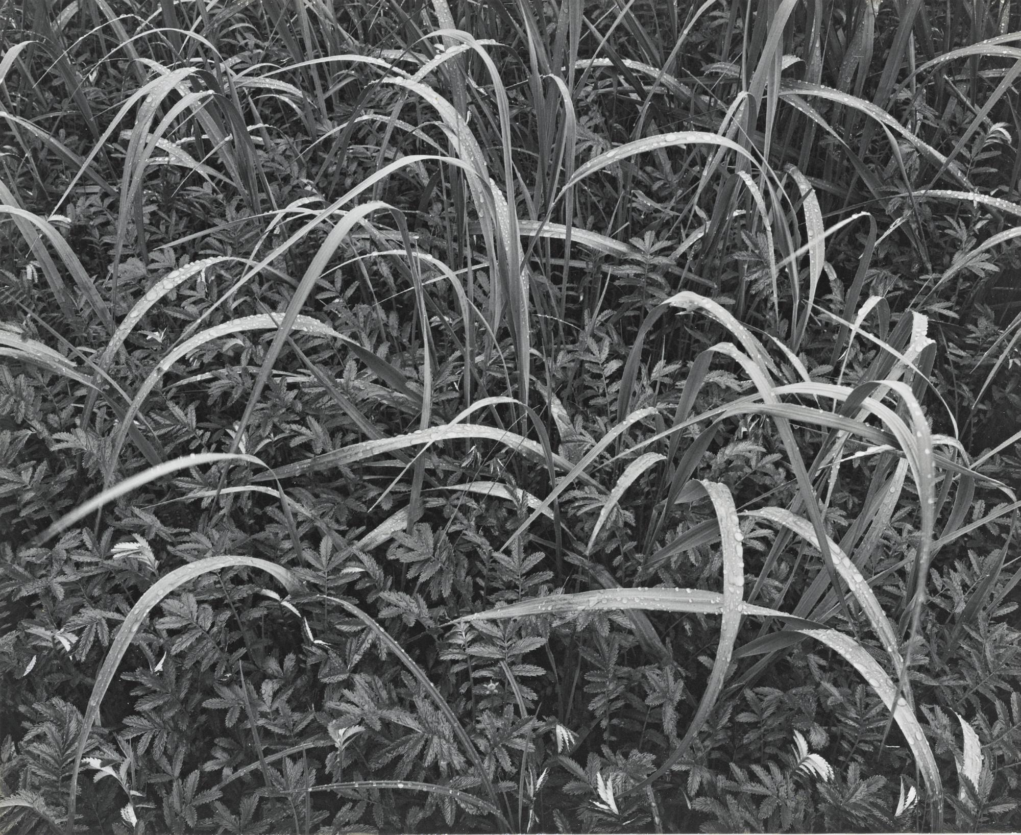 Ansel Adams-Grass And Rain Alaska-1948