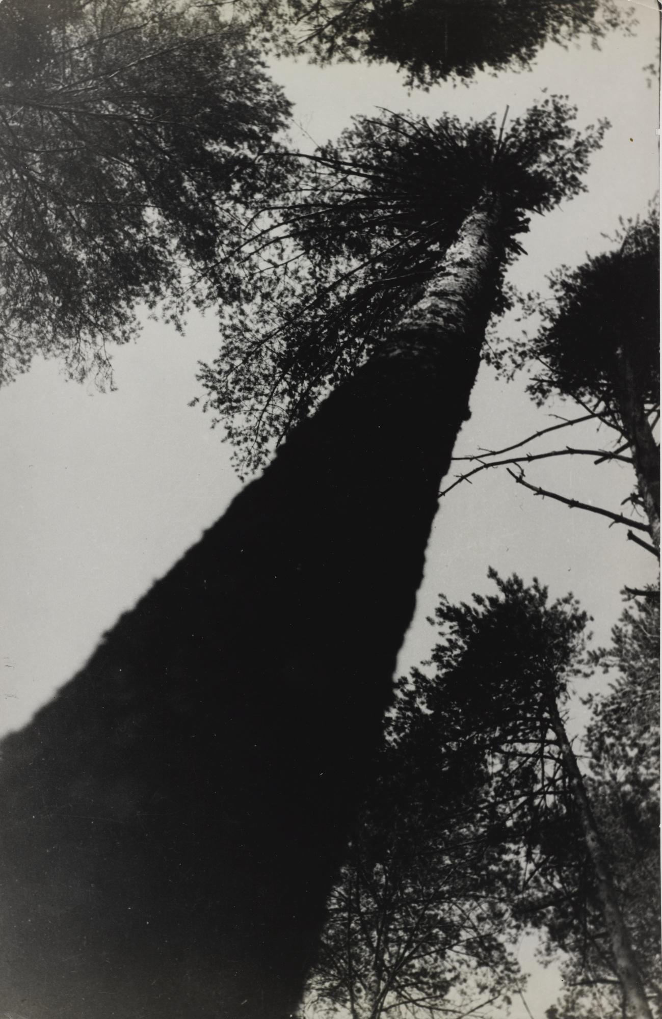 Alexander Rodchenko-Pine Trees-1927