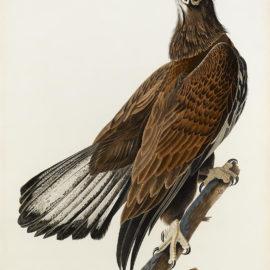 John James Audubon-After John James Audubon - White-headed Eagle (Pl. CXXVI)-1832