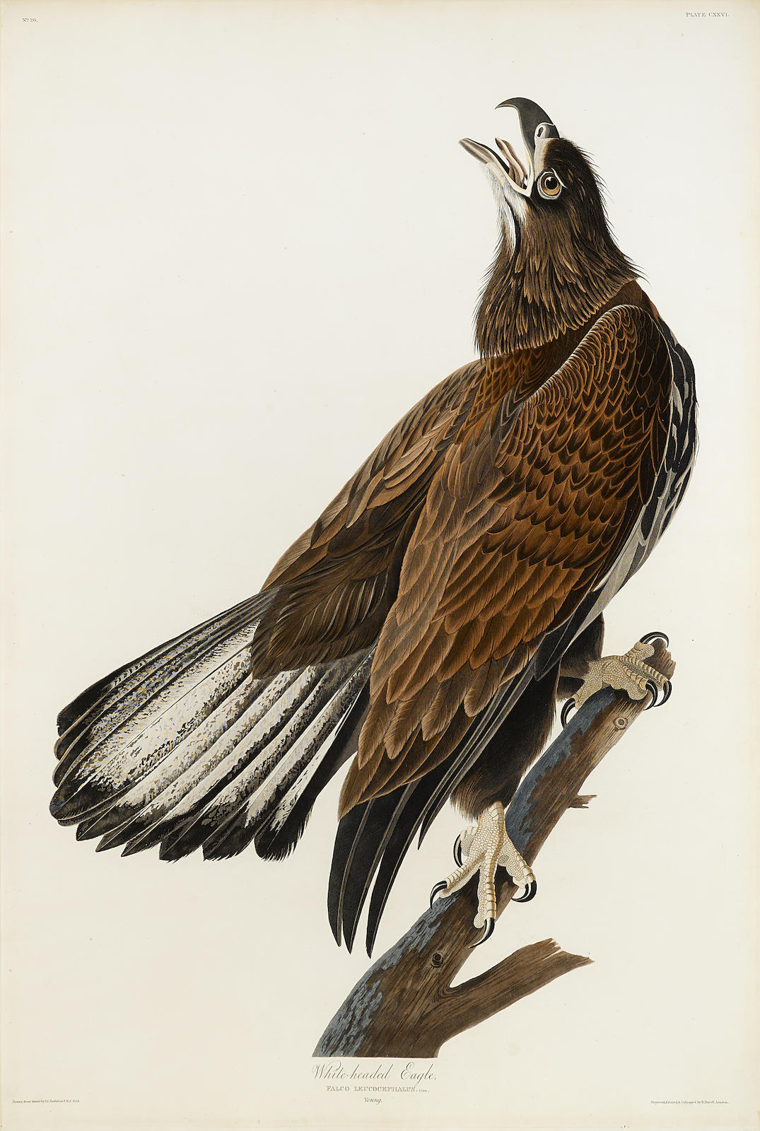 John James Audubon-After John James Audubon - White-headed Eagle (Pl. CXXVI)-1832