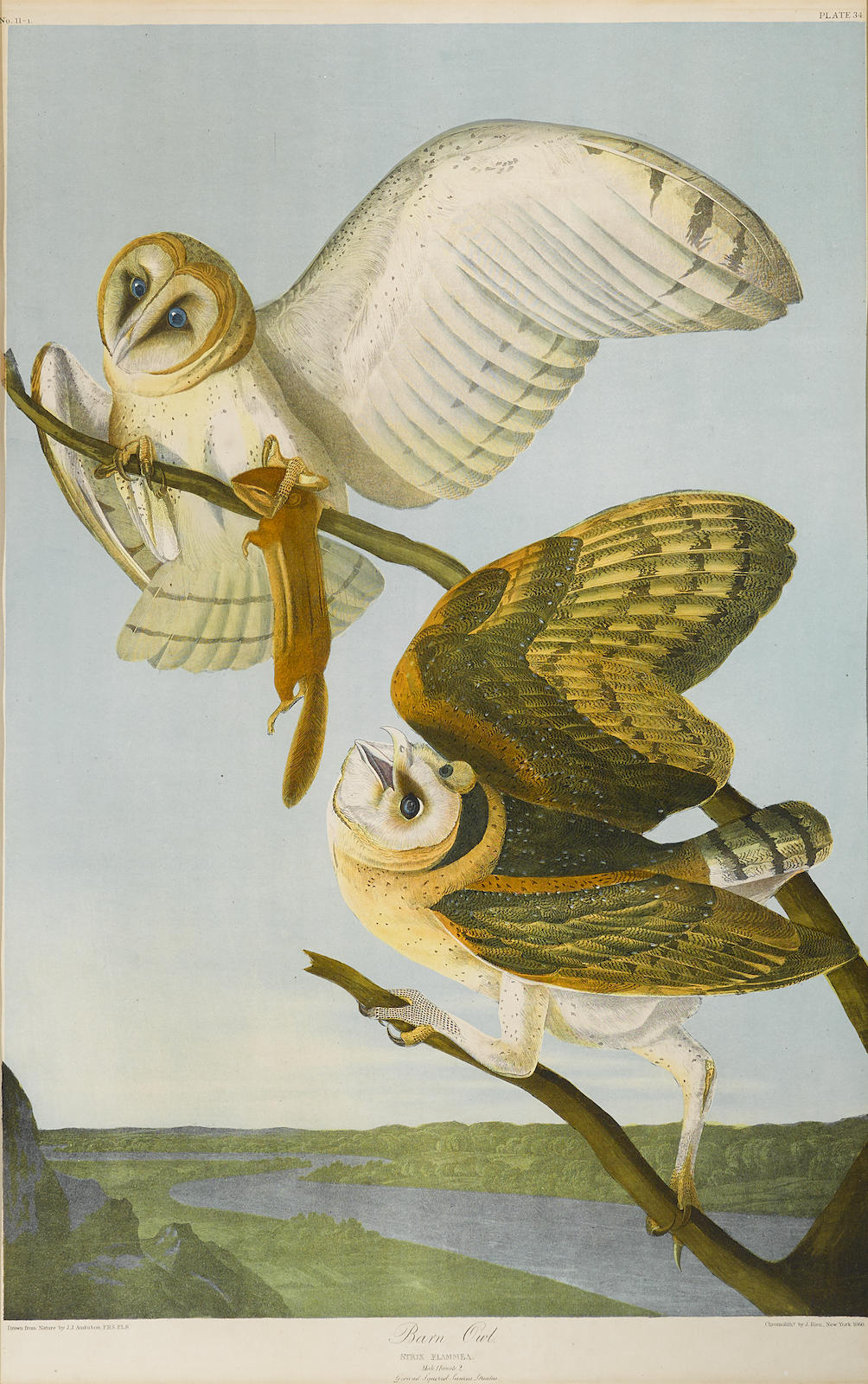 John James Audubon-After John James Audubon - Barn Owl (Pl. 34)-1860
