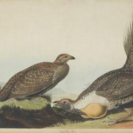 John James Audubon-After John James Audubon - Cock of the Plains (Pl. CCCLXXI)-1837