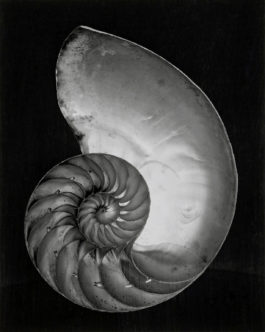 Edward Weston-Nautilus Shell (Half)-1927