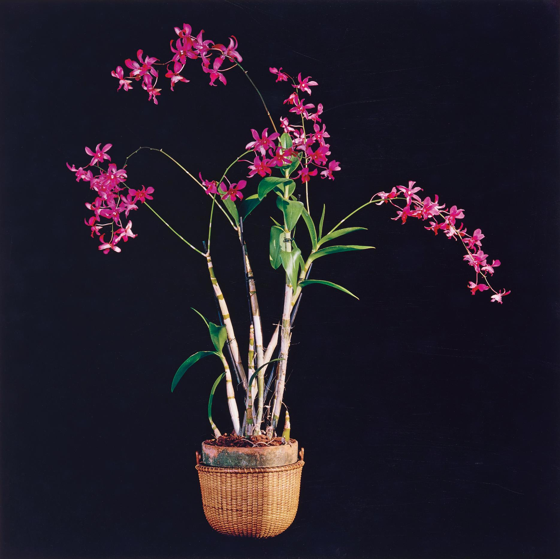 Robert Mapplethorpe-Orchids-1989