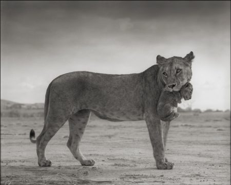 Nick Brandt-Lioness With Cub In Mouth' Amboseli-2012