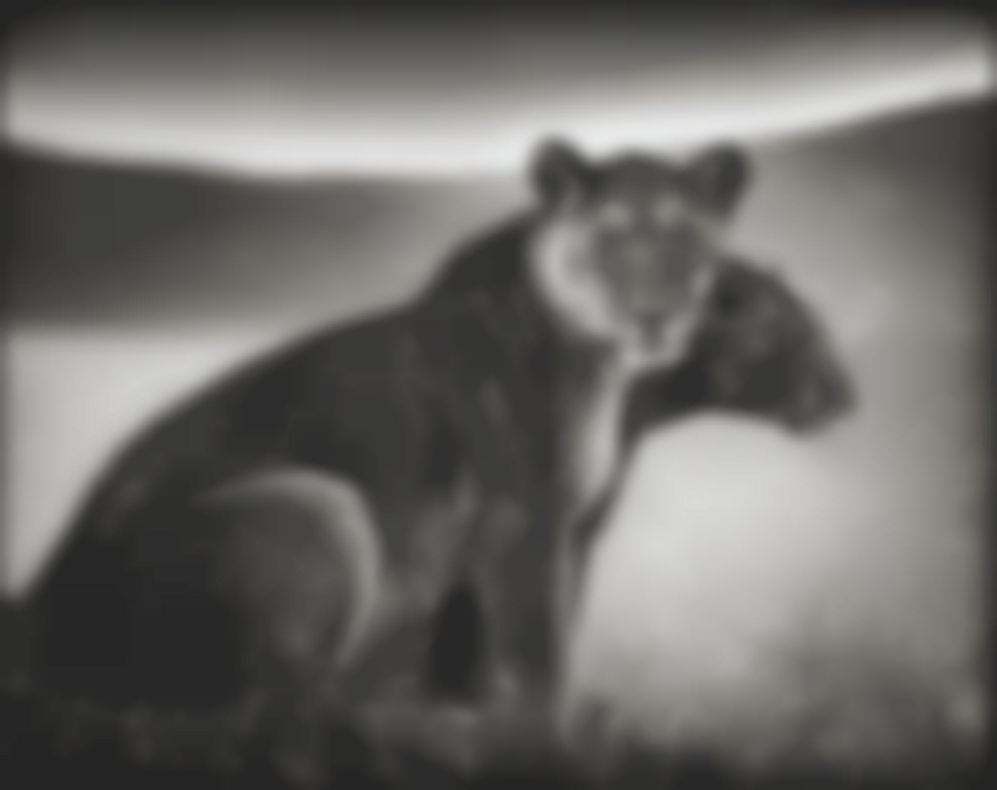 Nick Brandt-Sitting Lionesses' Serengeti-2002