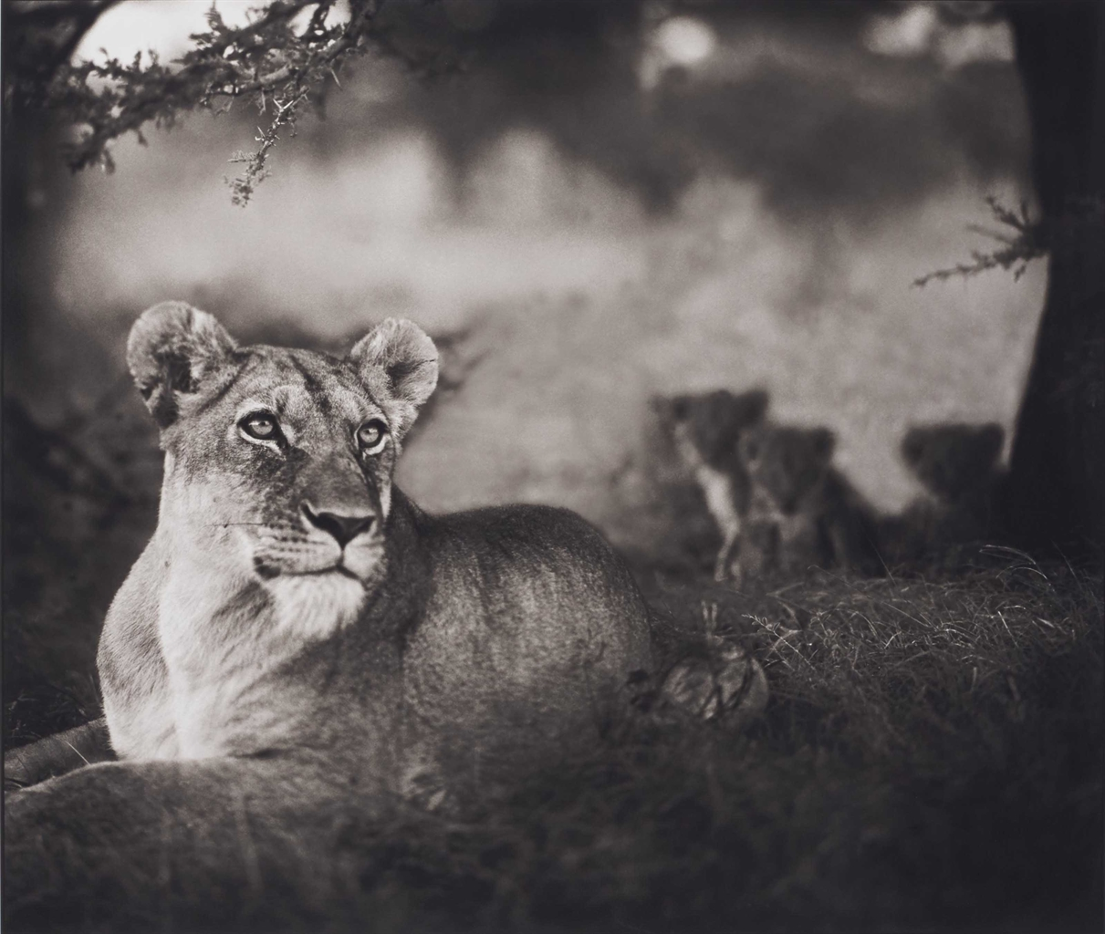 Nick Brandt-Lioness with Cubs Under Tree-2004