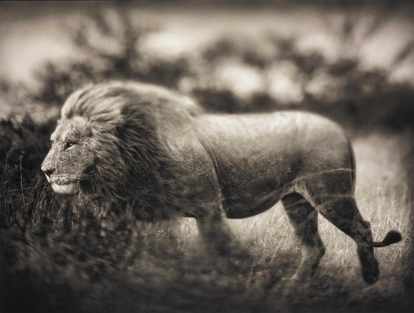 Nick Brandt-Windswept Lion, Serengeti-2002