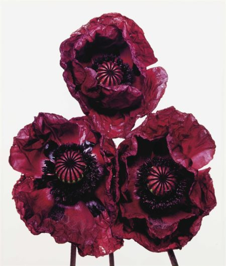 Irving Penn-Three Poppies, Arab Chief, New York-1969
