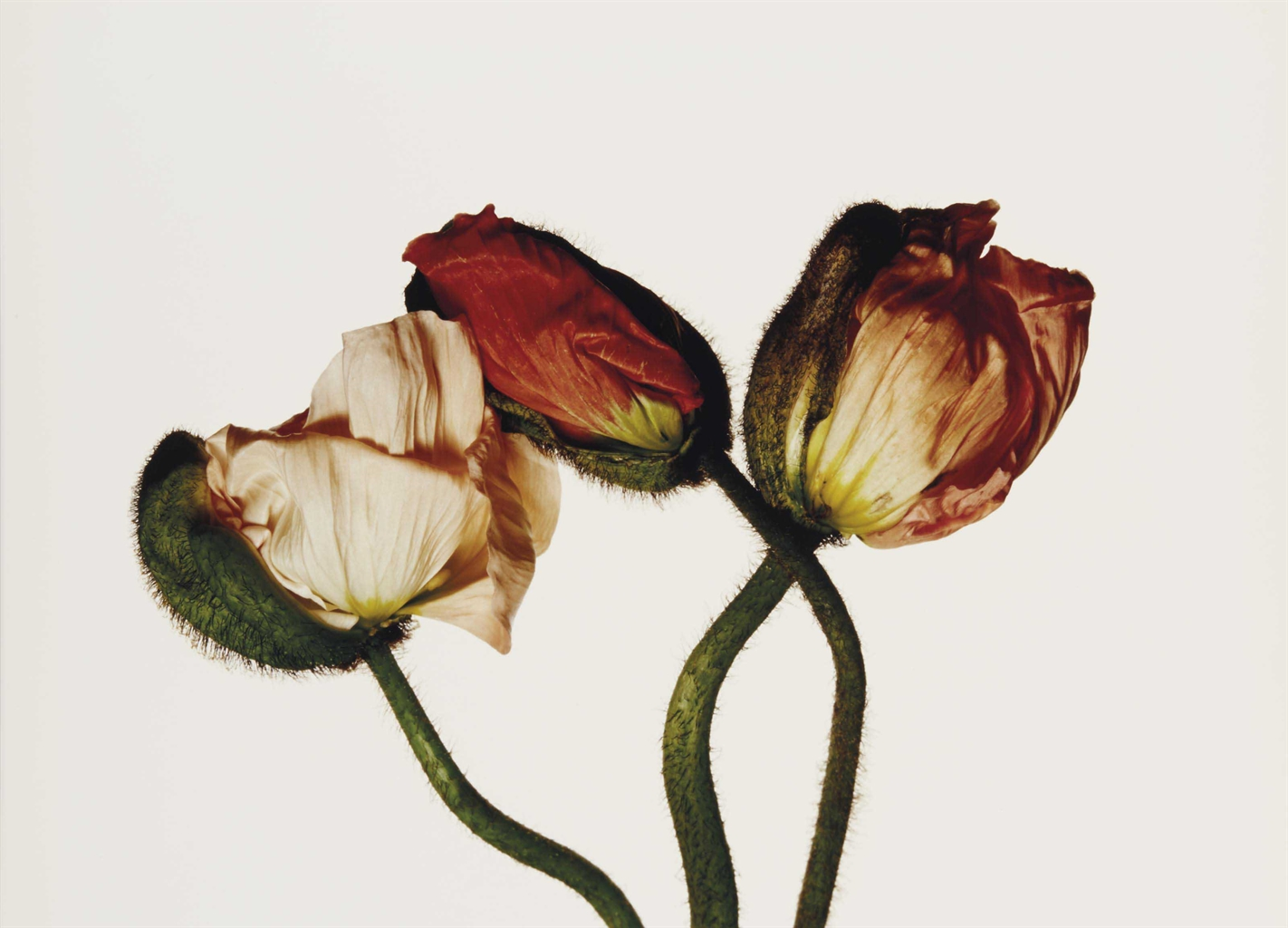 Irving Penn-Iceland Poppy / Papaver nudicaule (E), New York-2006