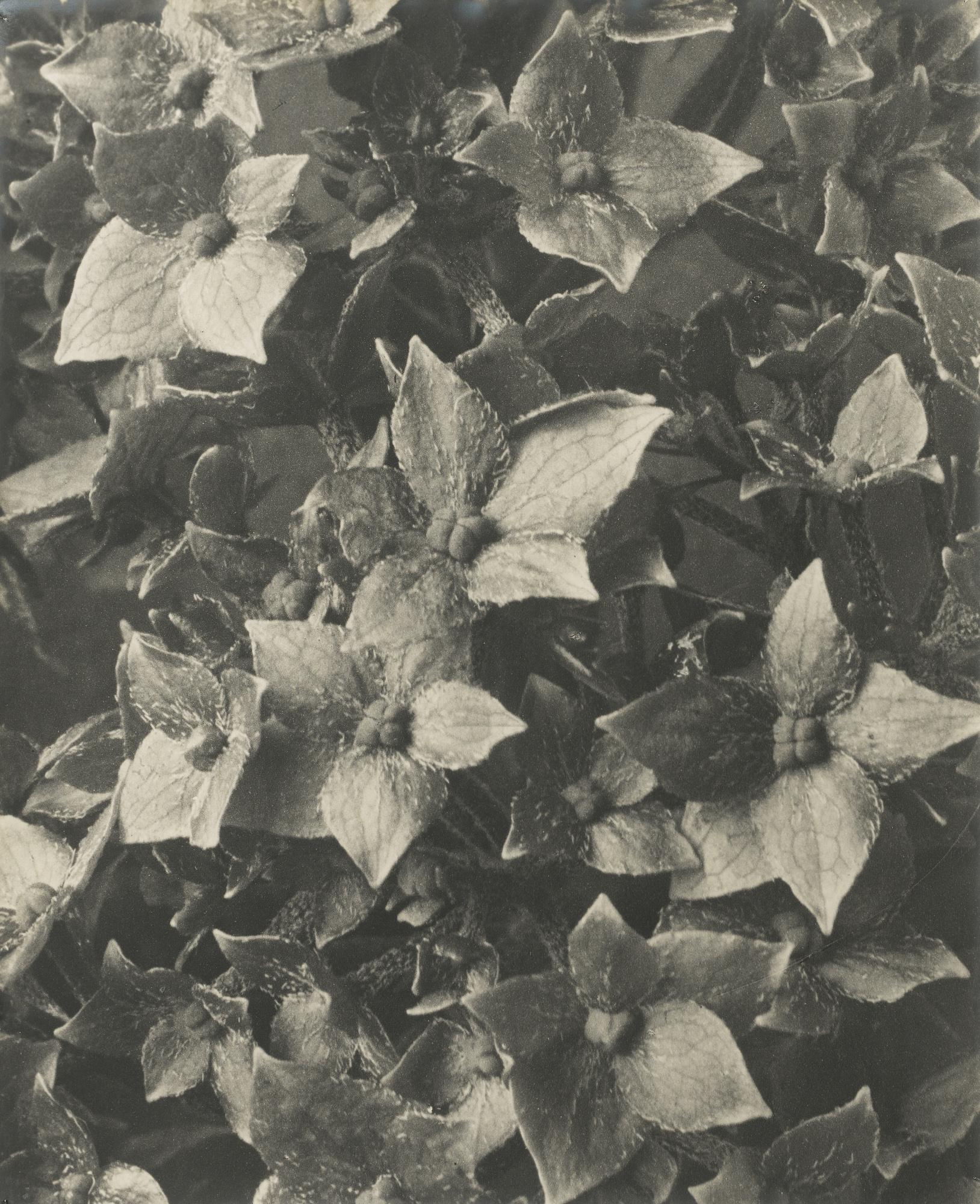 Karl Blossfeldt-Hydrangea Macrophylla Vers-1920