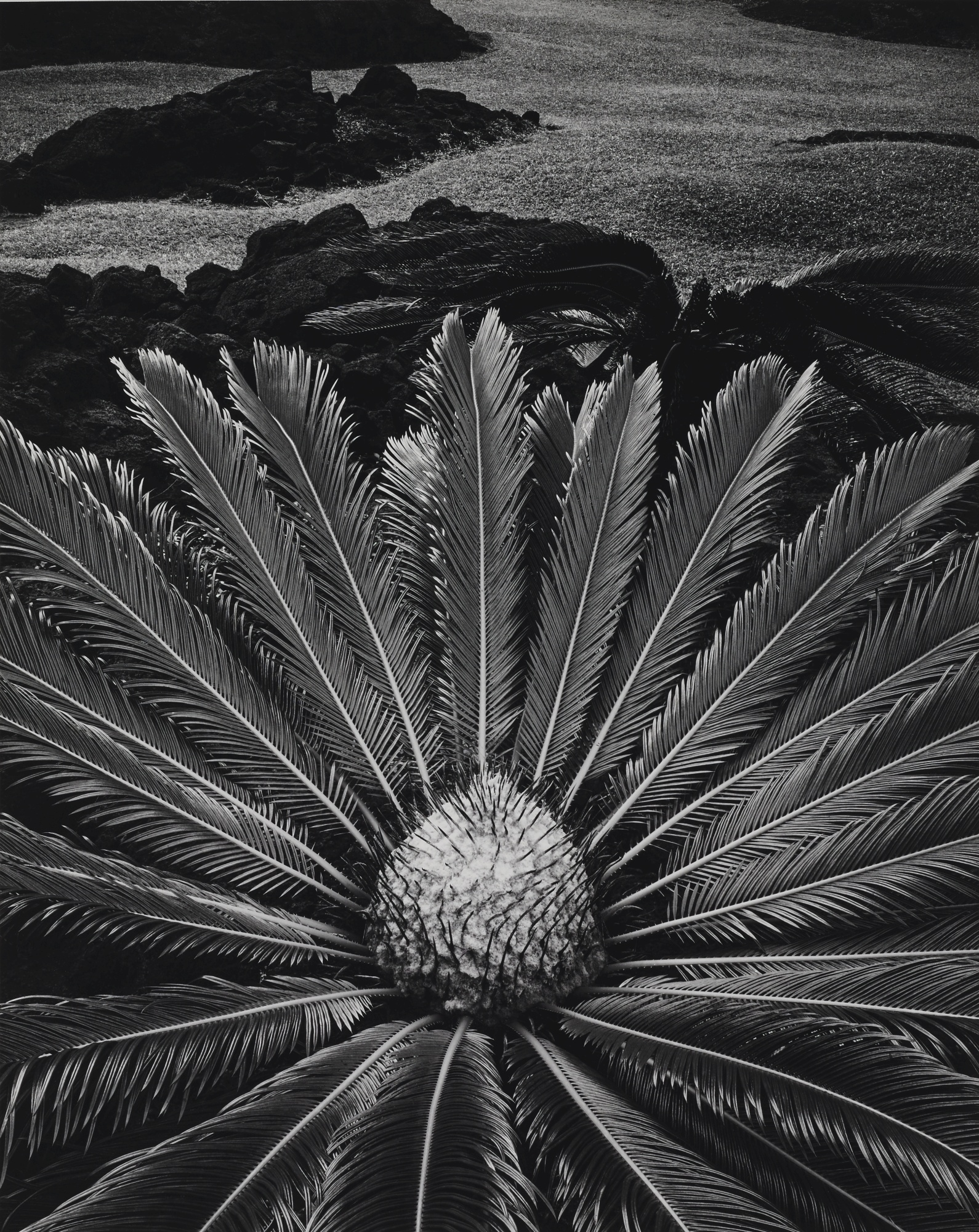 Don Worth-Cycas Revoluta, Hilo Hawaii-1977