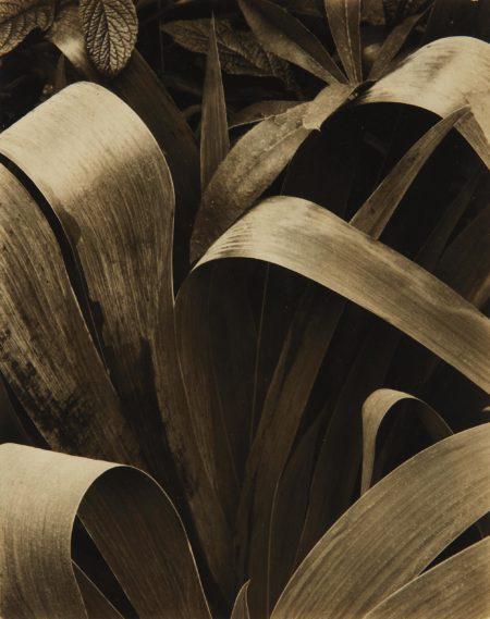 Paul Strand-Iris, Georgetown, Maine-1928