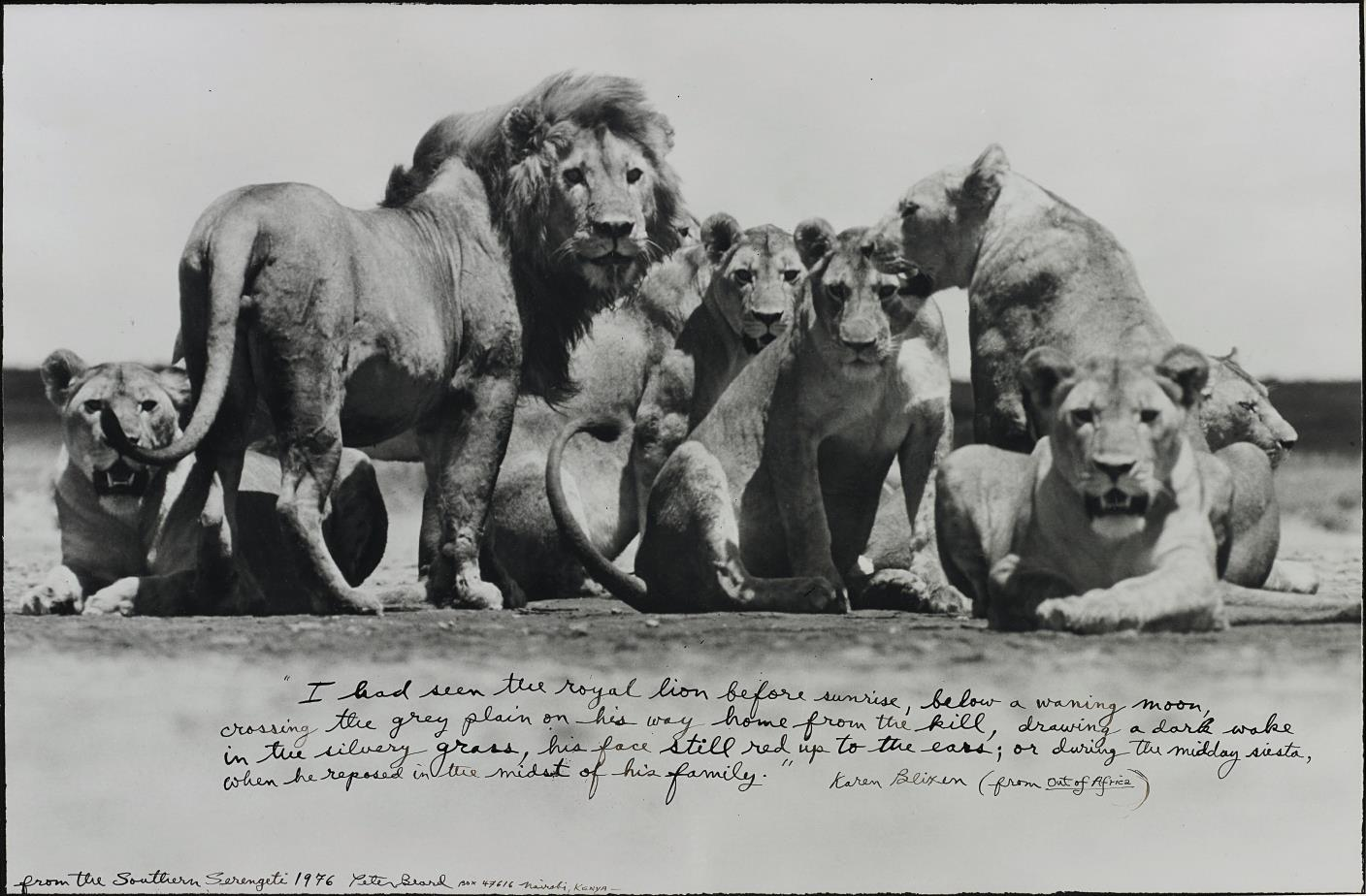 Peter Beard-Lion Pride from The End of the Game-1976