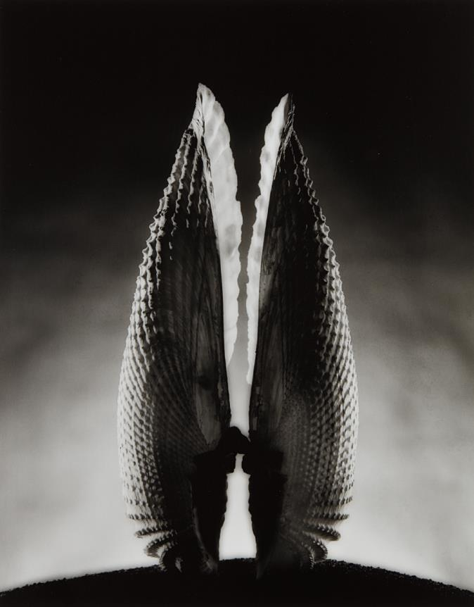 Ruth Bernhard-Angel Wings-1943