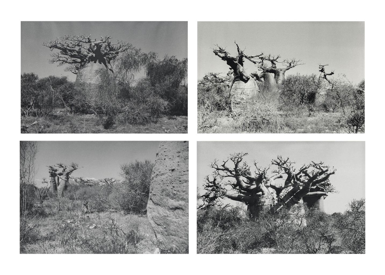 Tacita Dean-(I) Baobab III; (II) Baobab IV; (III) Baobab V; (IV) Baobab VI-2001
