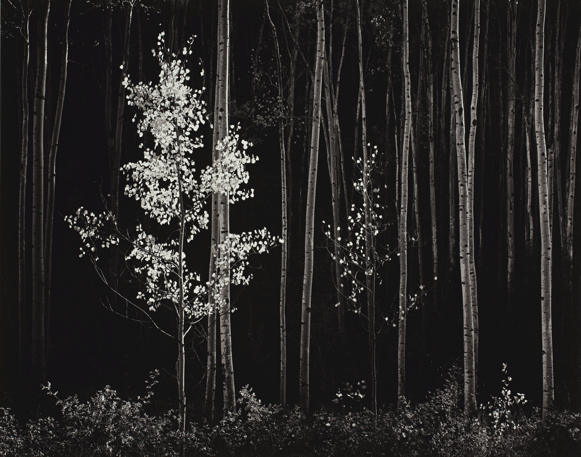 Ansel Adams-Aspens, Northern New Mexico-1958