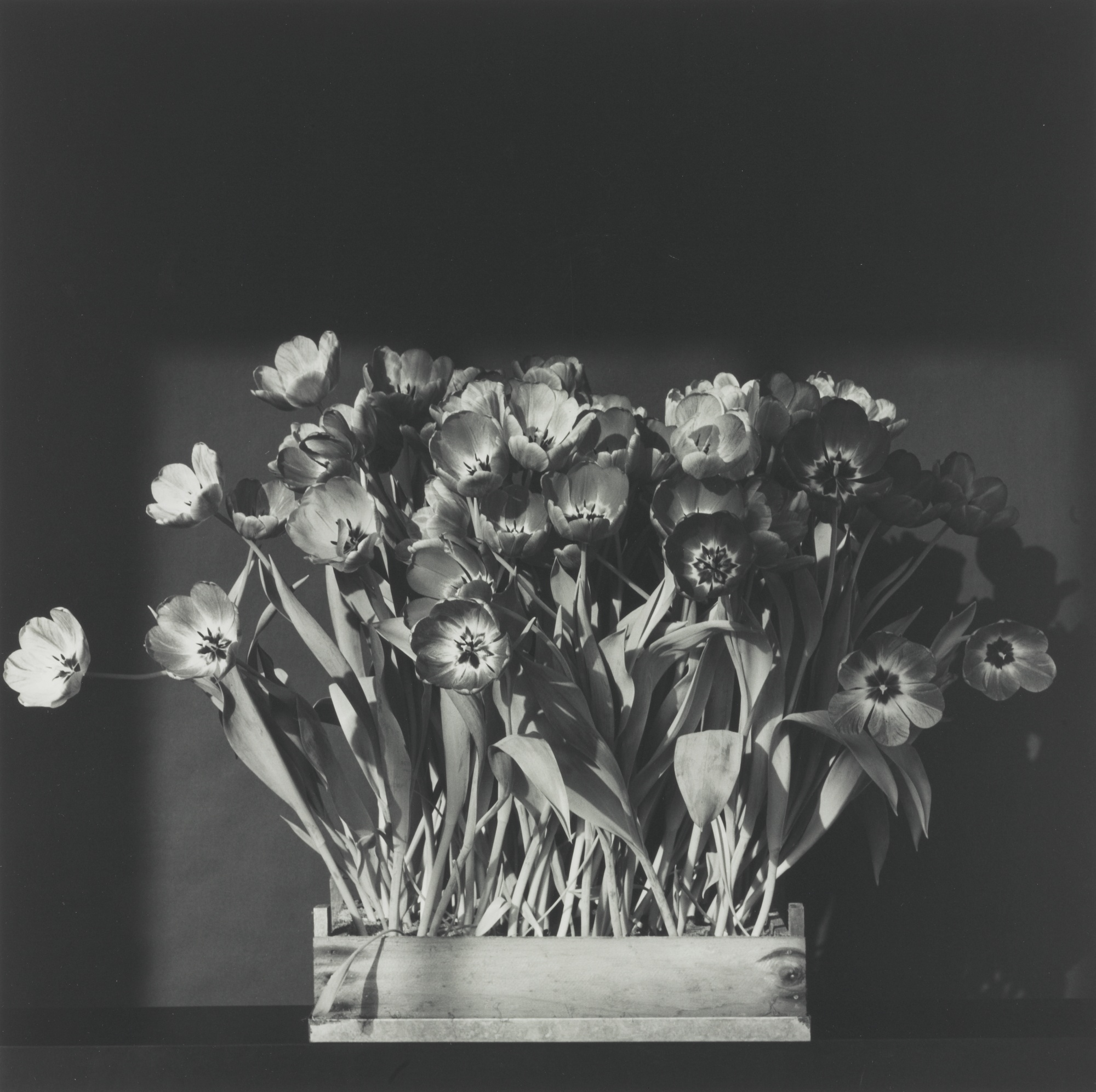 Robert Mapplethorpe-Tulips-1983