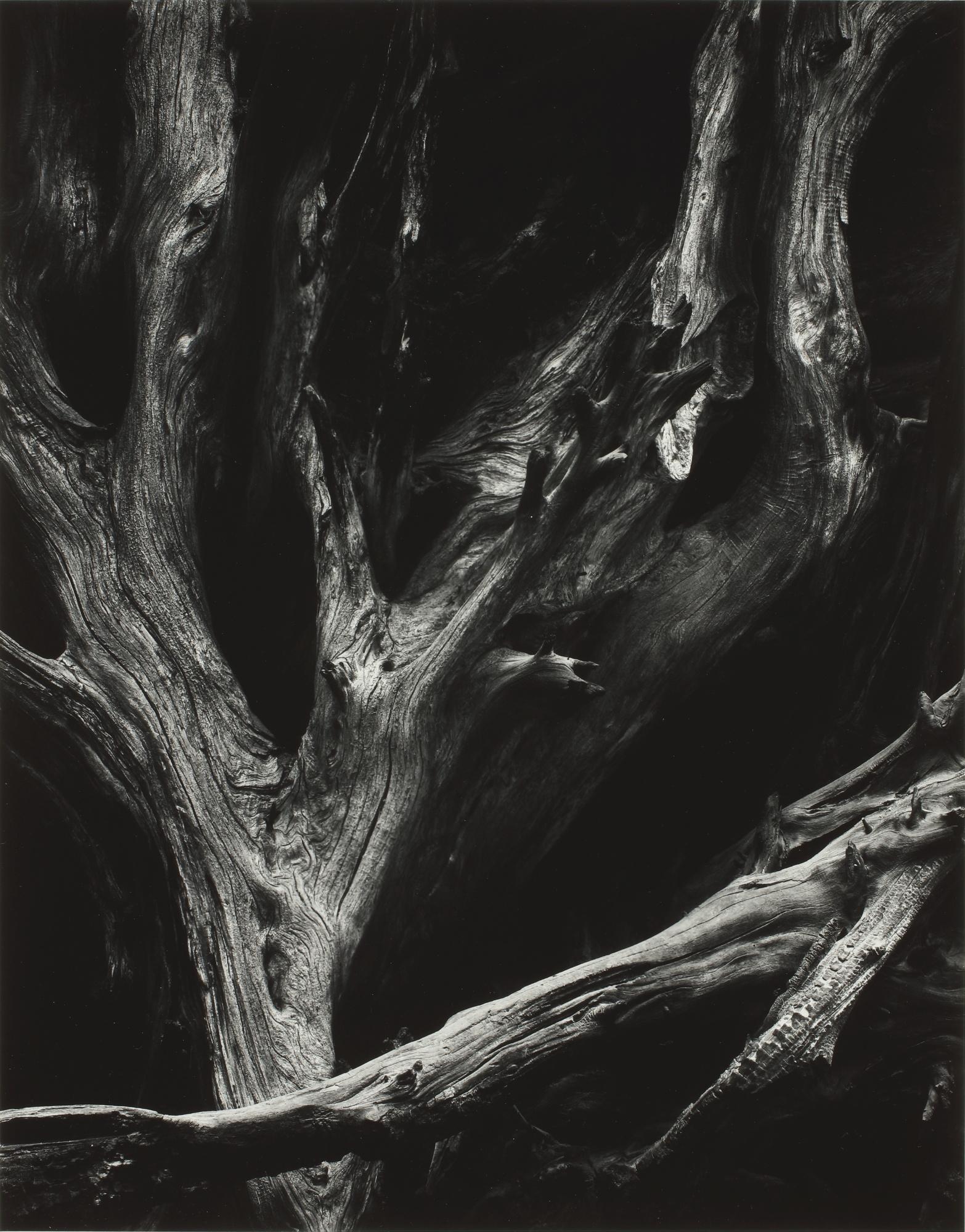 Ansel Adams-Sequoia Roots, Mariposa Grove, Yosemite National Park, California-1950