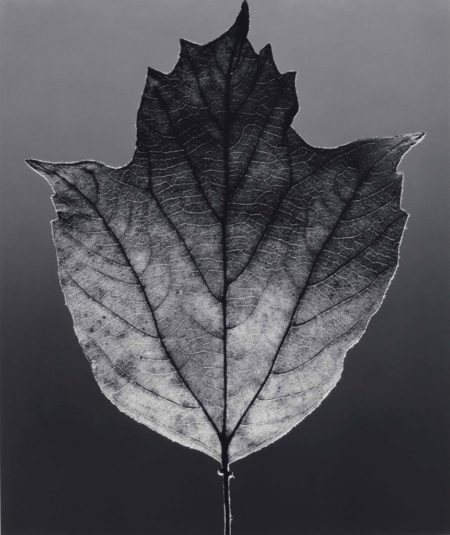 Robert Mapplethorpe-Leaf-1987
