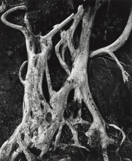 Brett Weston-Tree Trunks, Mexico-1973