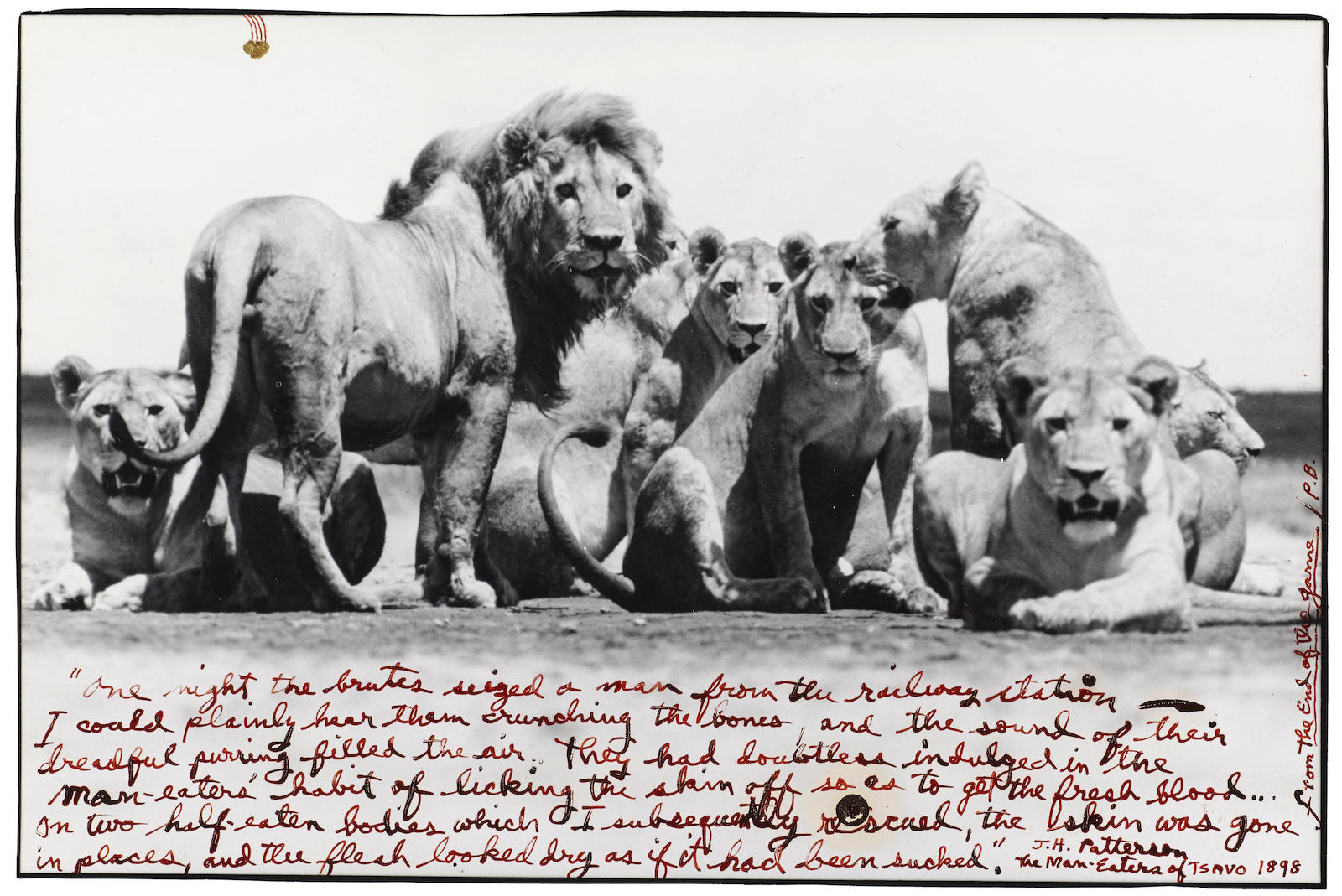 Peter Beard-Lion Pride, From The End Of The Game-1976