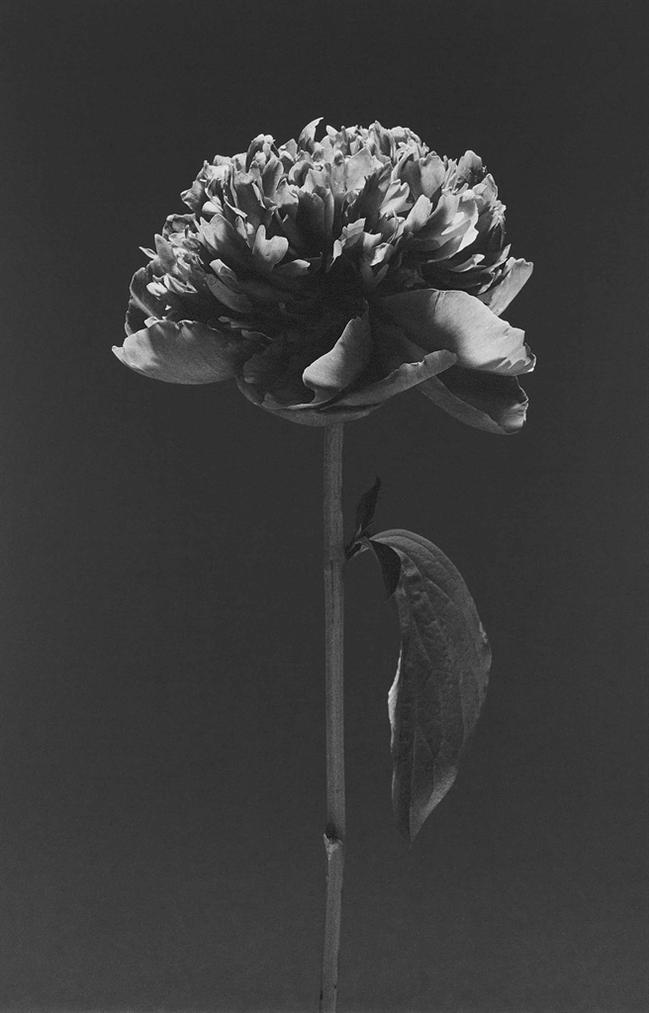 Robert Mapplethorpe-Flower, 1984-1984