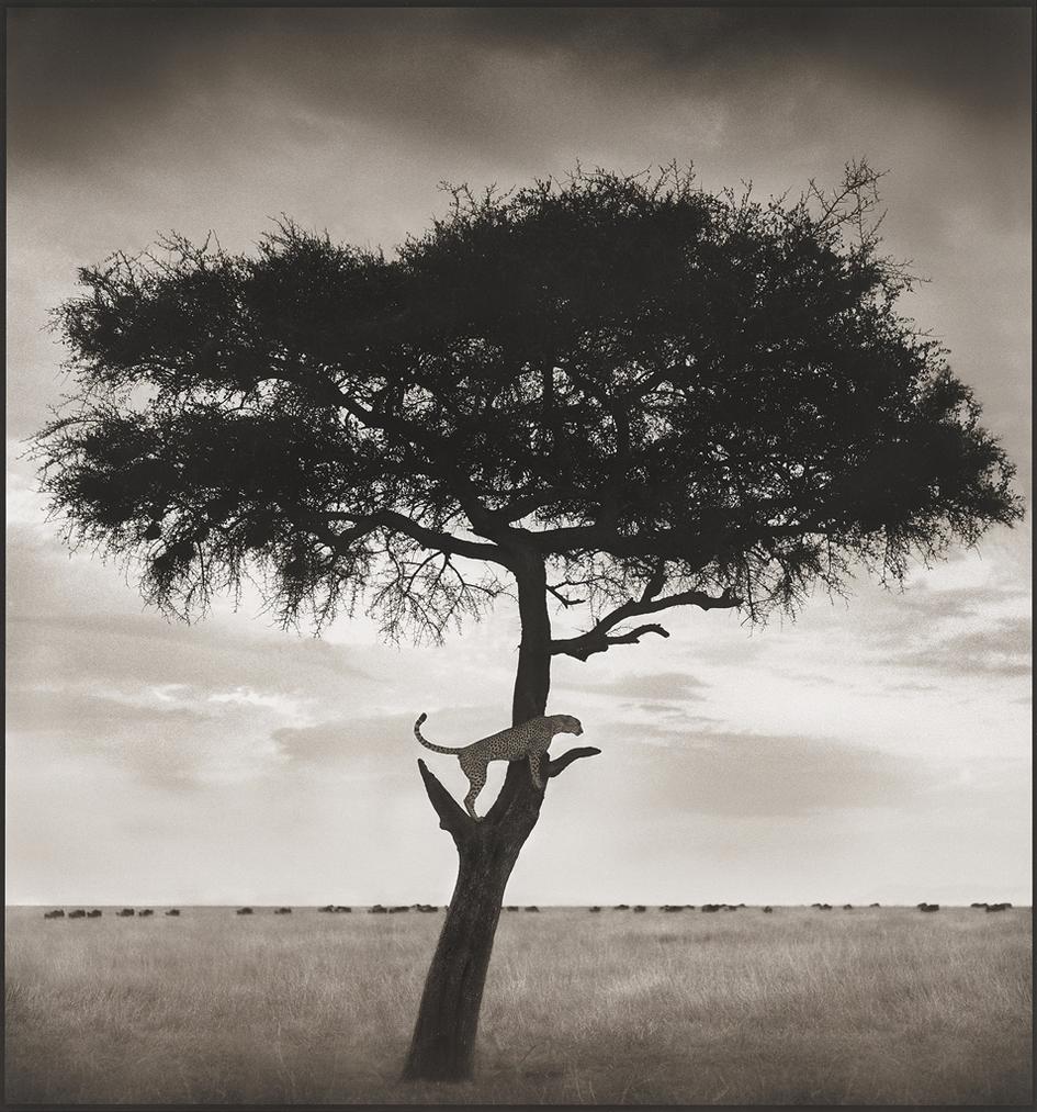 Nick Brandt-Cheetah In Tree, Maasai Mara, 2003-2003
