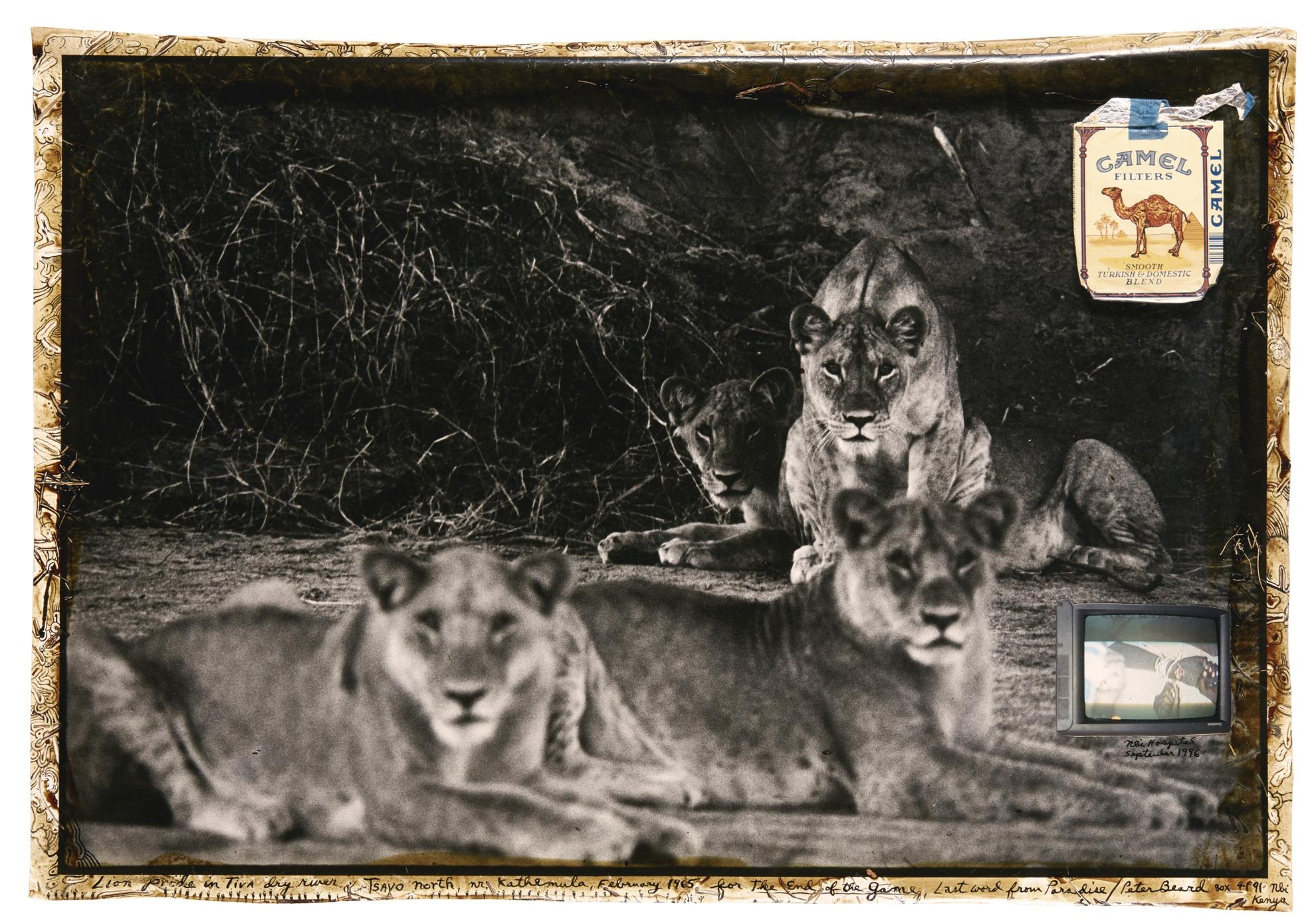 Peter Beard-Lion Pride In The Tiva Dry River, Tsavo North, Nr. Kathmula, February 1965-1965